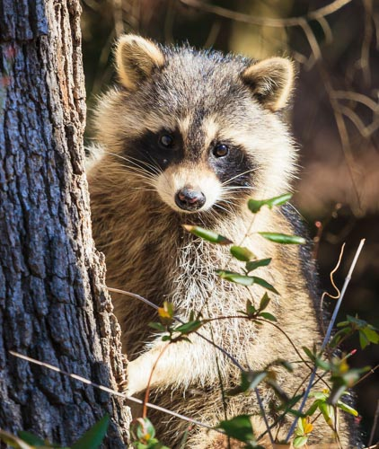 Asheville Raccoon Removal - photo of a raccoon posed next to a tree in Asheville, NC