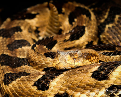 Picture of curled up Timber Rattlesnake found in a log pile by a home in Asheville NC